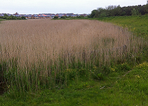 A photograph of Newcastle SuDS (storage pond with reeds), 2013